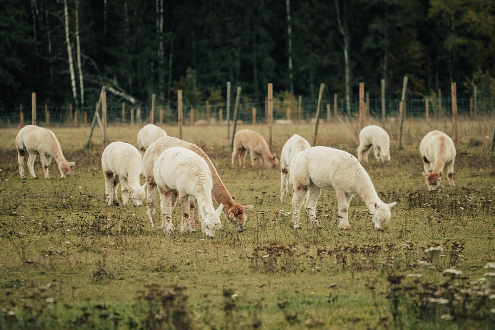 herd of white and brown goats on green grass field during daytime
