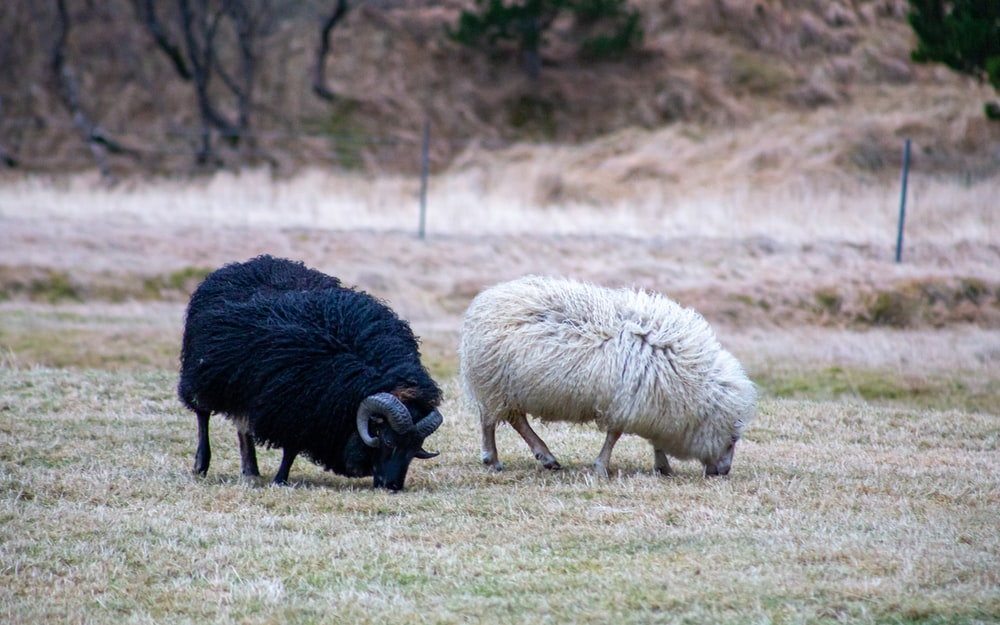 white and black sheep on green grass field during daytime