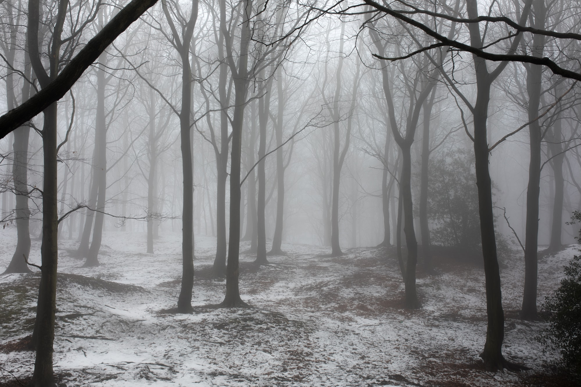Trees in snow and fog