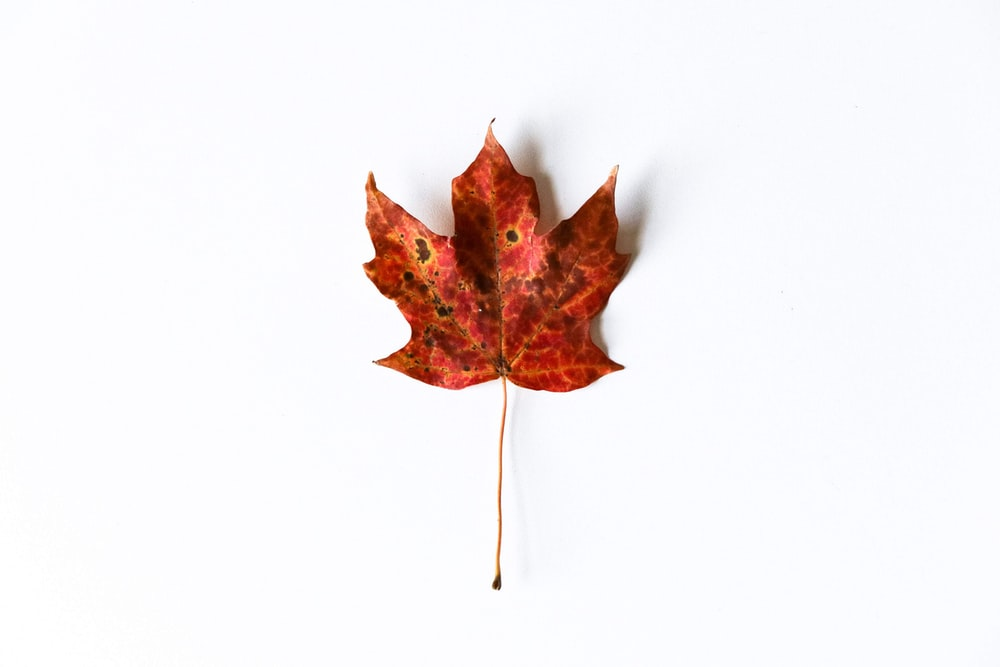 red maple leaf on white background