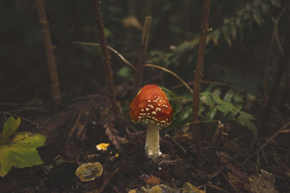red and white mushroom in forest