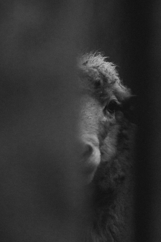 grayscale photo of sheep head