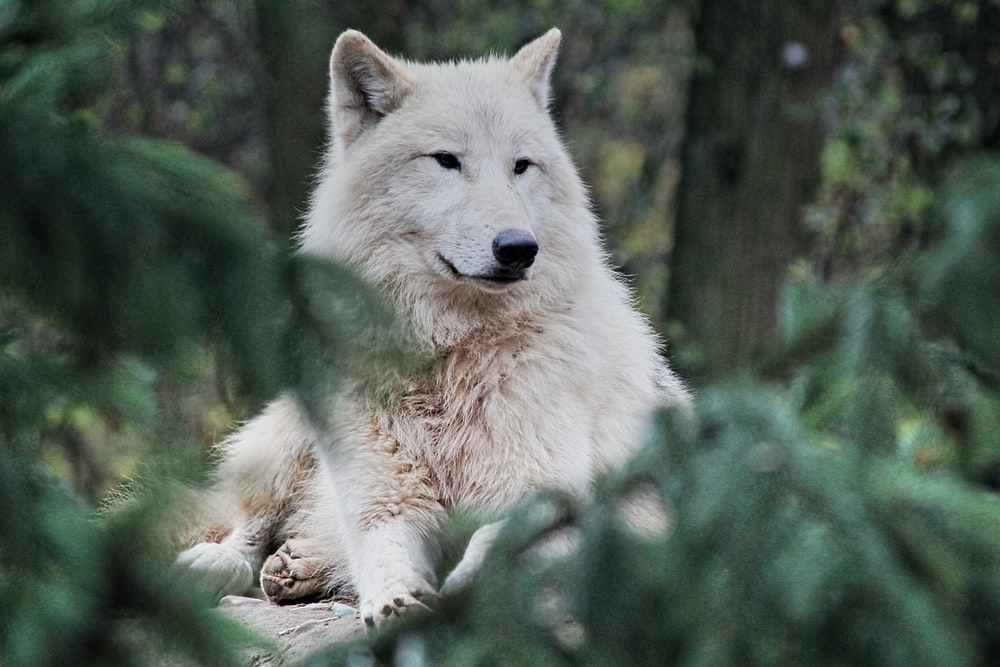 white wolf lying on ground