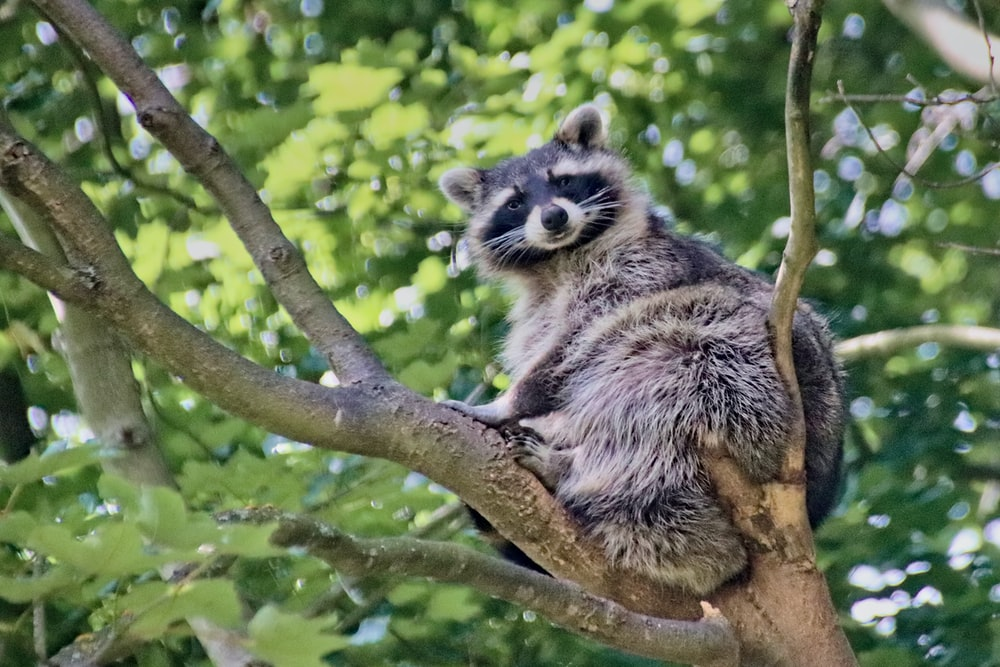 black and white raccoon on brown tree branch during daytime