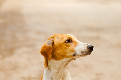 hyderabad white and brown short coated dog