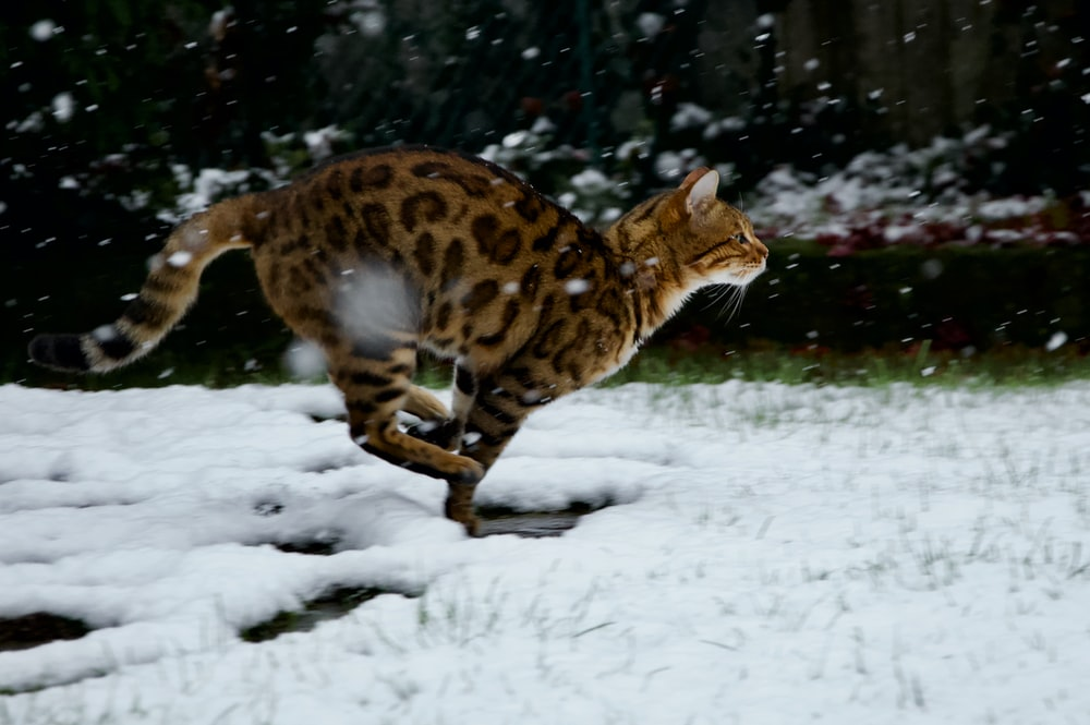 brown and black leopard walking on snow covered ground during daytime
