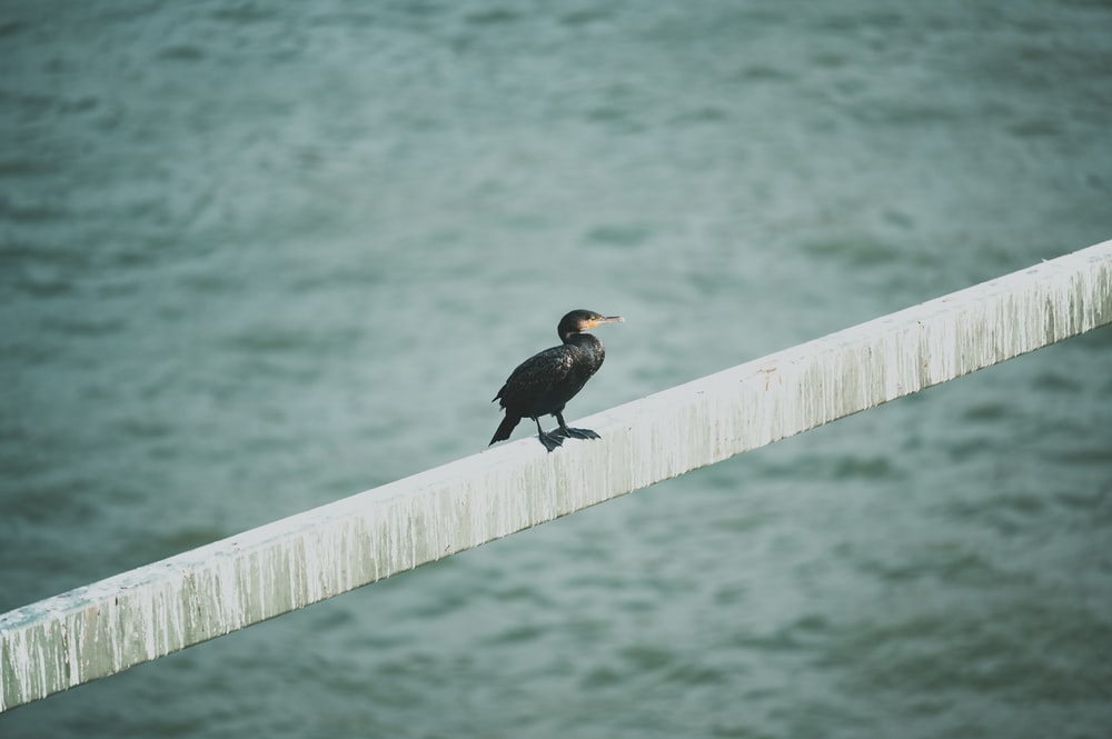 black bird on brown wooden fence