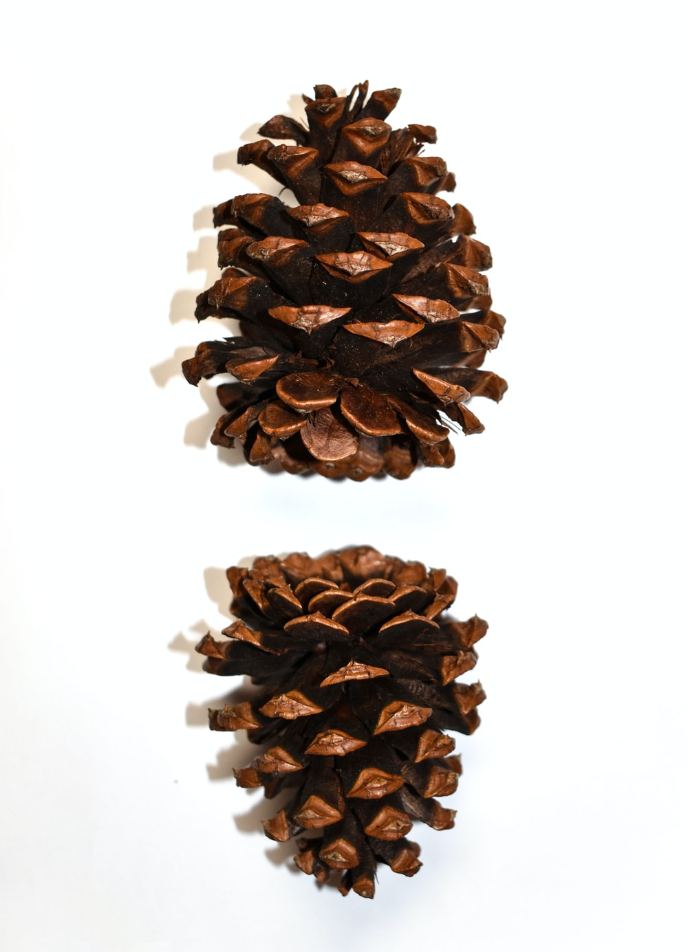 brown pine cone on white background