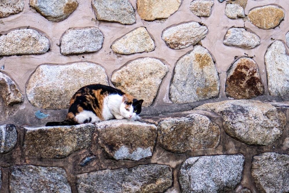 calico cat lying on gray concrete brick