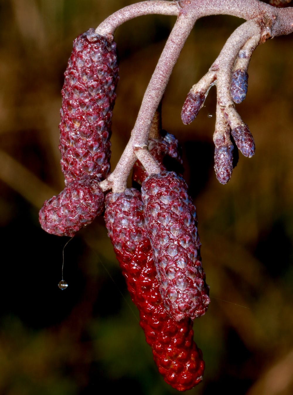 brown and red plant stem