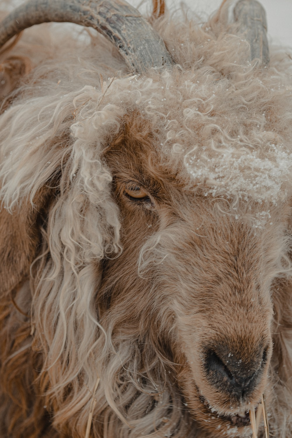 white and brown sheep with white fur