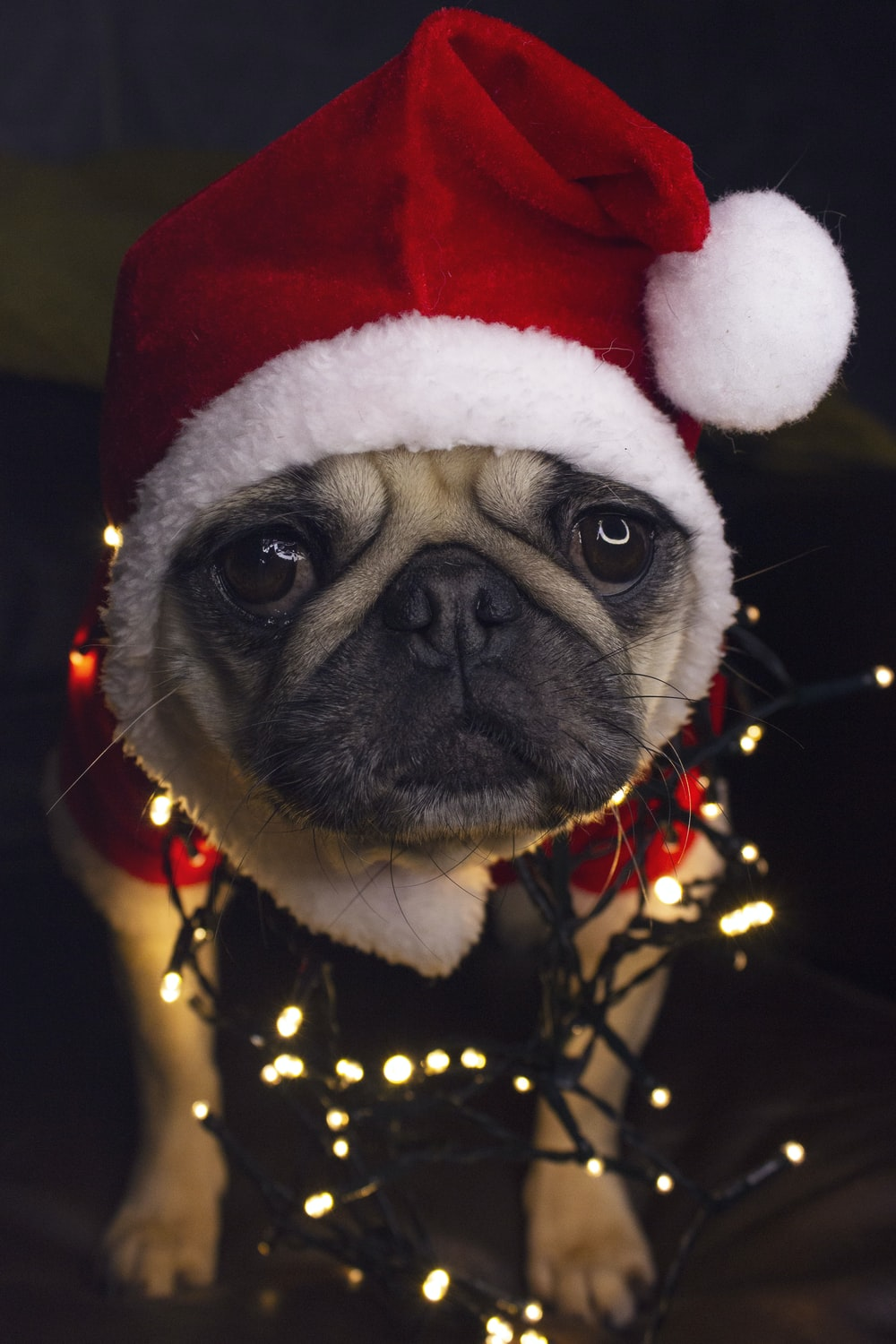 fawn pug wearing red and white santa hat