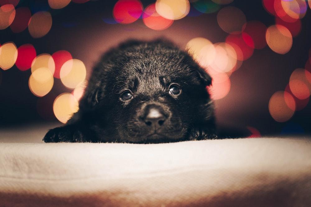 black labrador retriever puppy lying on white textile