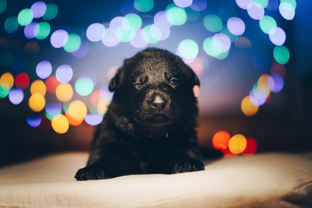 black short coated puppy on white textile