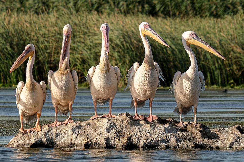 flock of pelicans on brown wood log