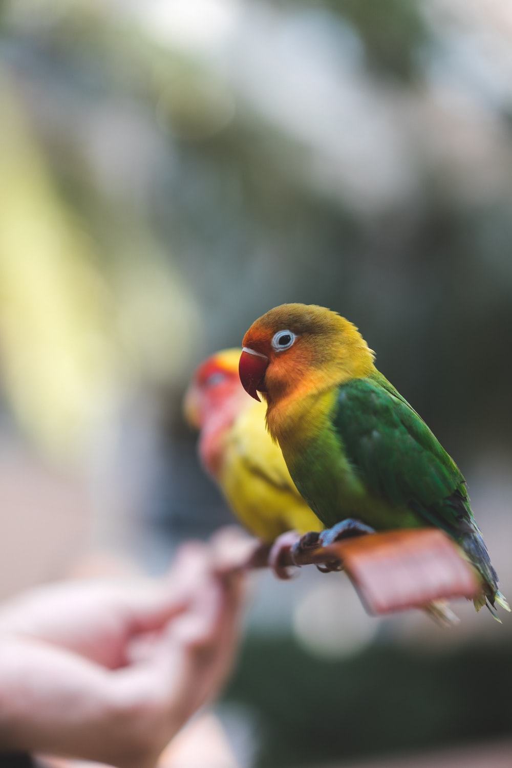 green yellow and red bird on persons hand