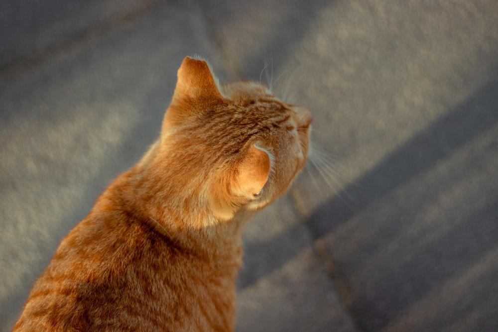 orange tabby cat on gray textile