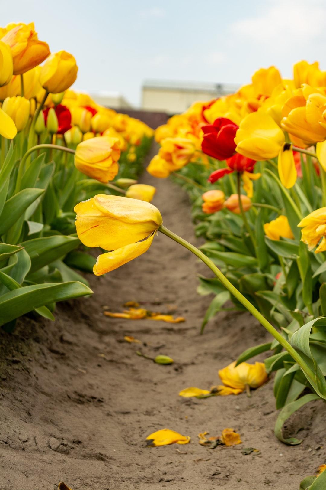 Tulips growing in a field.