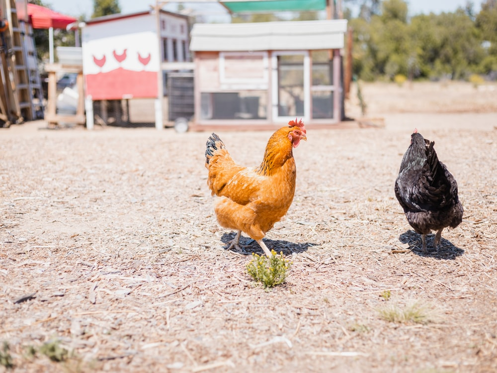 brown hen on brown soil