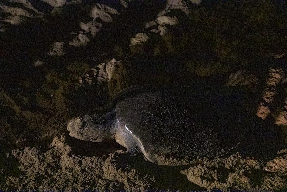 black sea turtle on brown sand