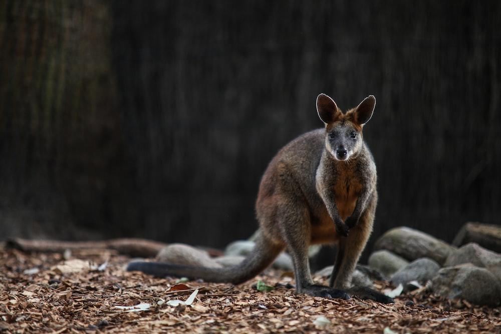 brown kangaroo on brown ground