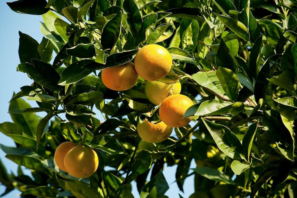 orange fruits on green leaves