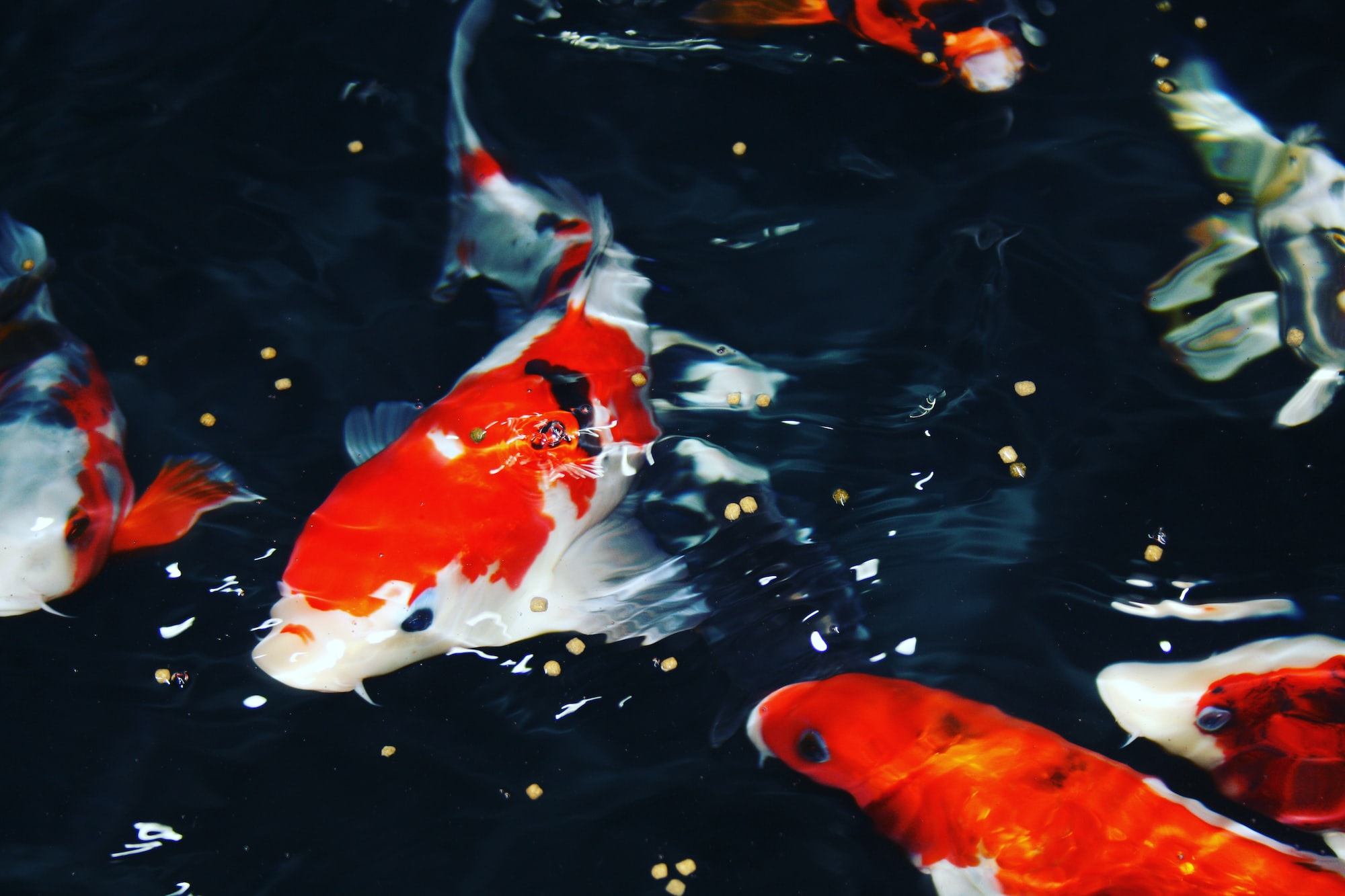 For the most up to date fish photography please follow @just_koi_fish on Instagram. Credit @Just_Koi_Fish.