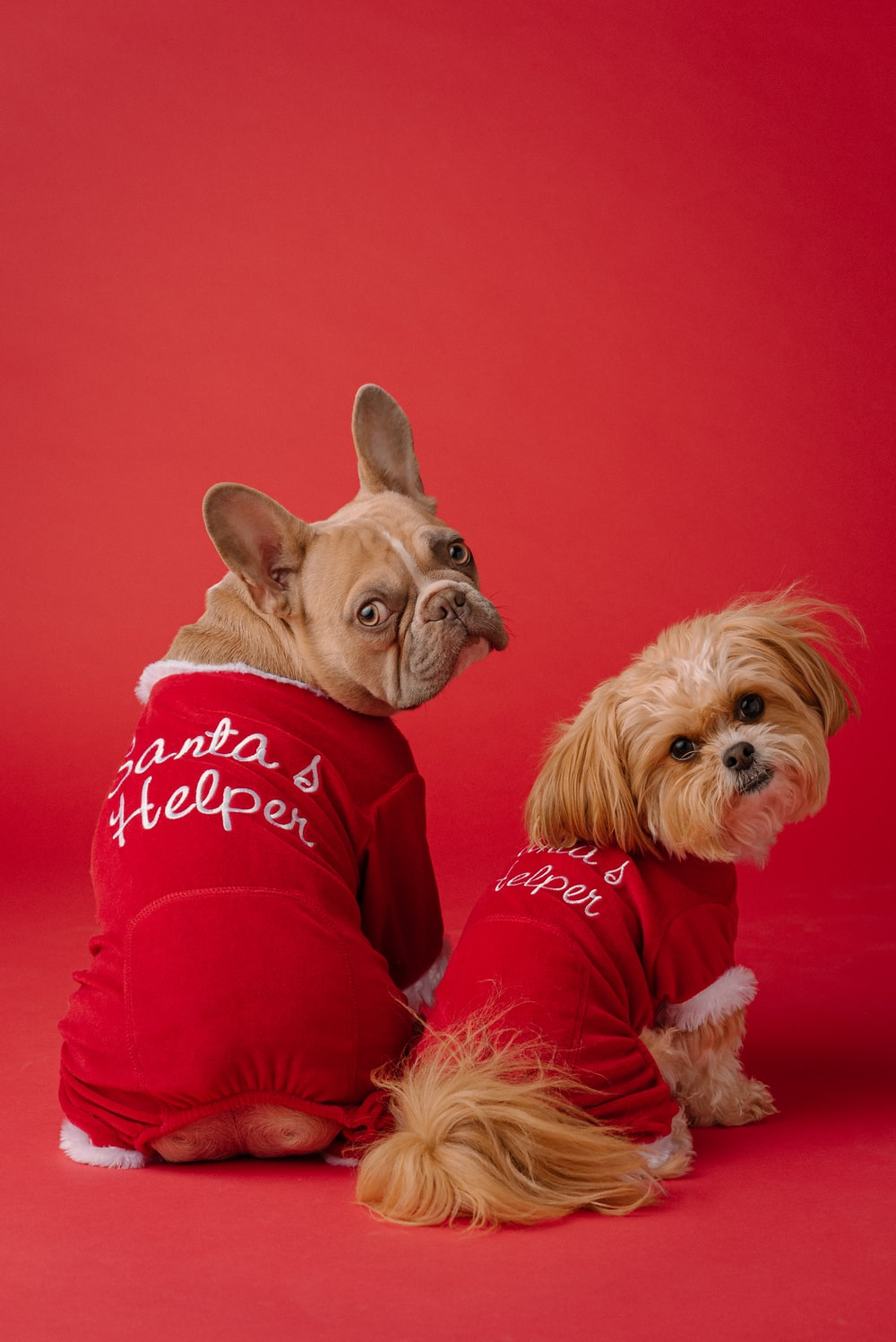 brown and white long coated small dog wearing red shirt