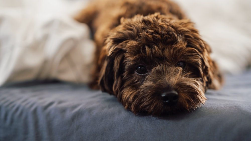 brown long coated small dog on white textile