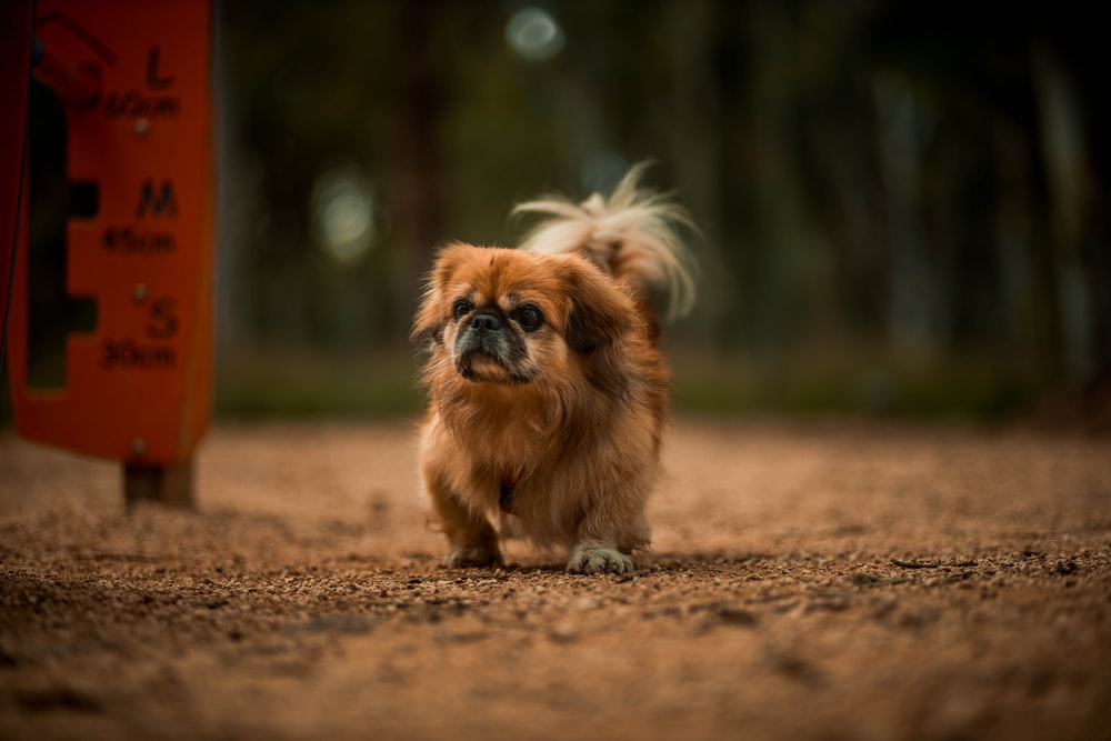 brown and white long haired small dog on brown soil during daytime