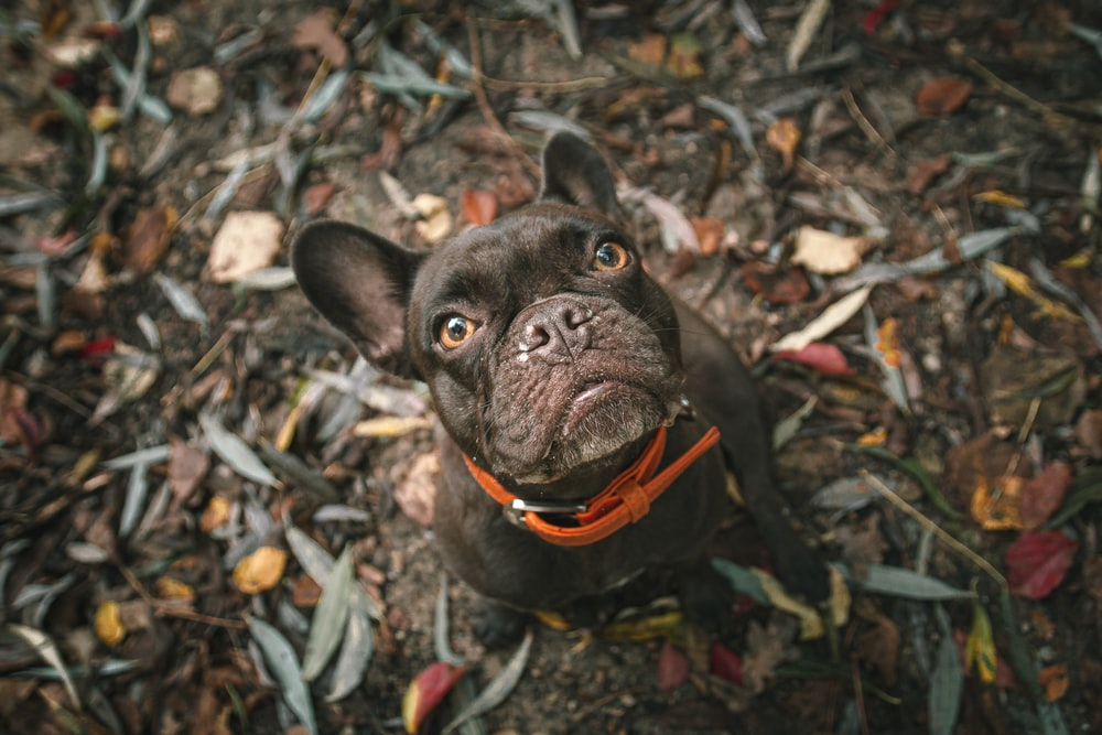 black french bulldog with orange leash