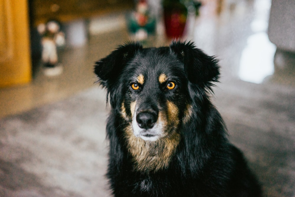 black and brown short coated dog