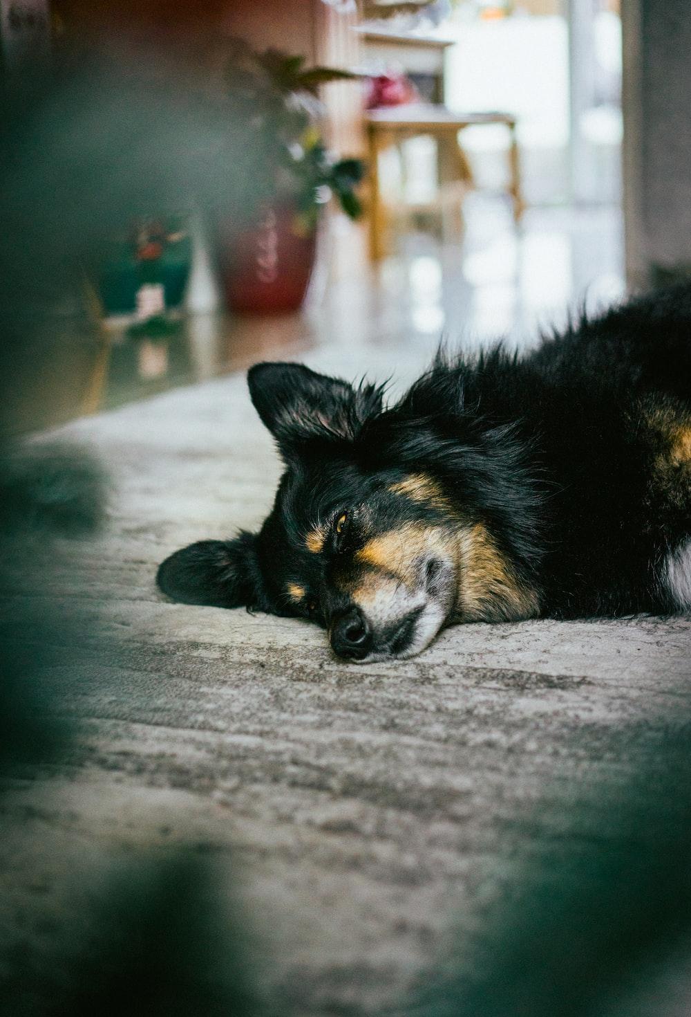 black and tan short coat medium sized dog lying on floor