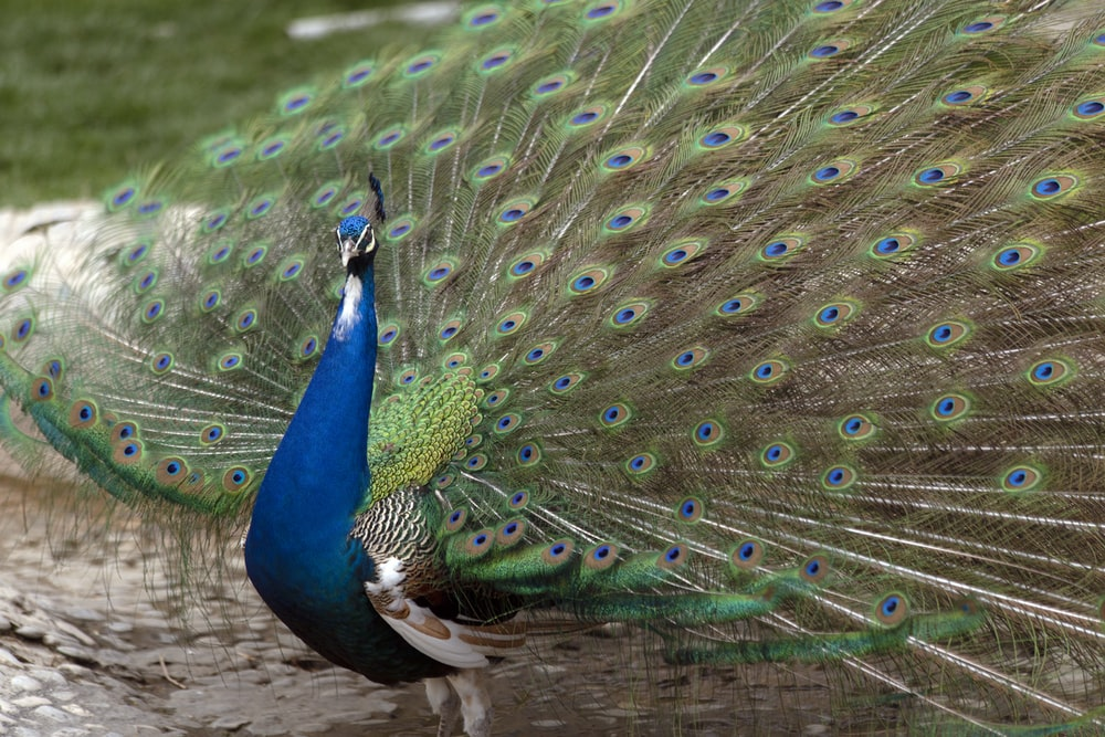 blue peacock on green grass during daytime