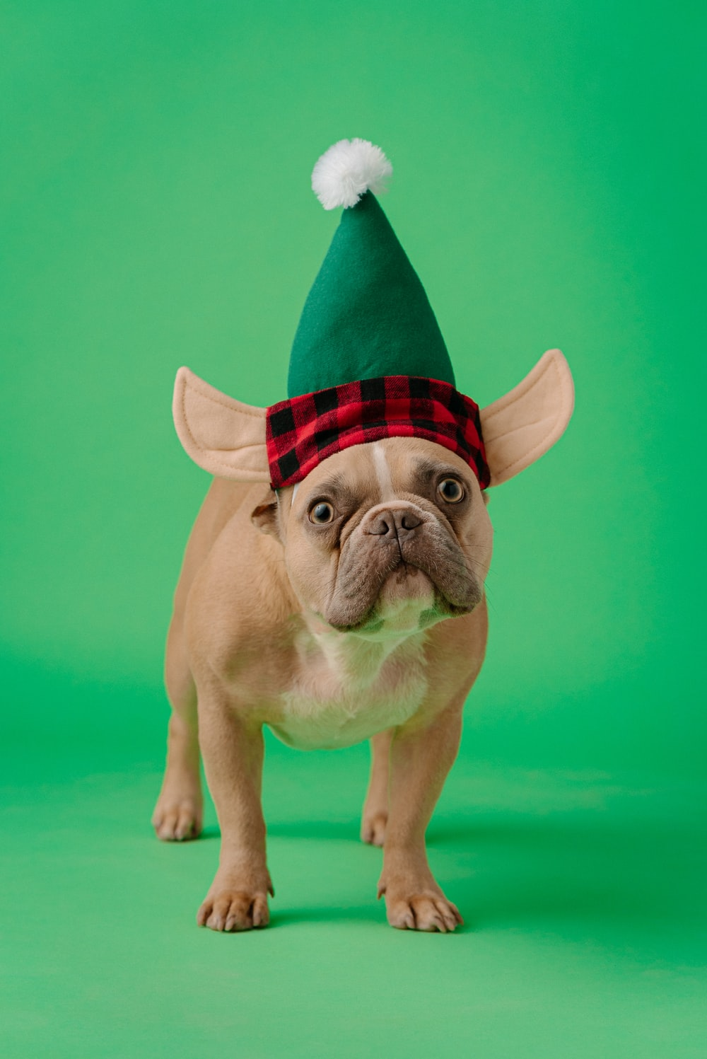 fawn pug wearing red and white striped santa hat