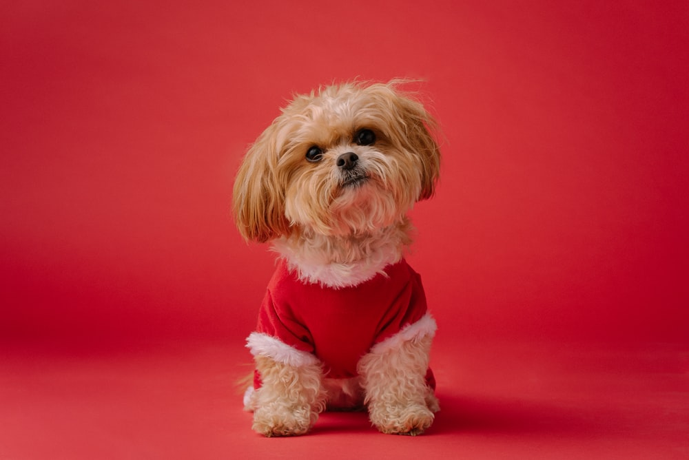 white long coated small dog on red textile
