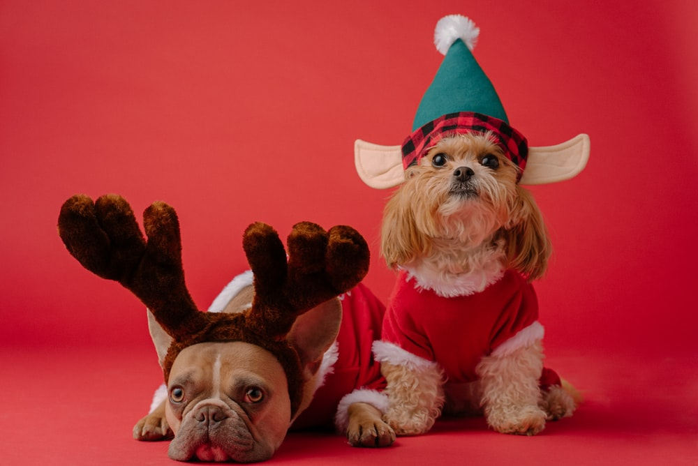 white and brown dog wearing santa hat