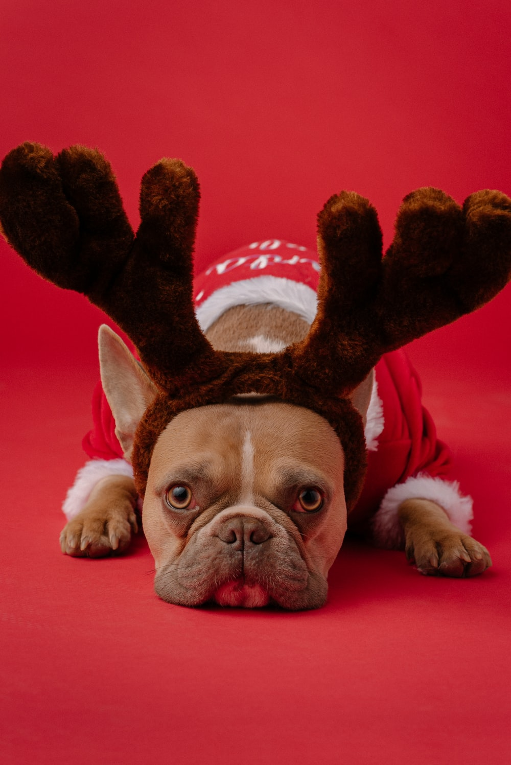 brown and white short coated dog wearing red and white santa hat