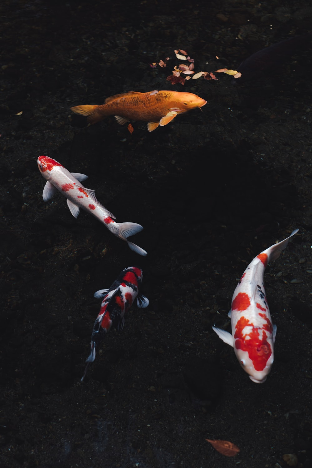 white and orange koi fish