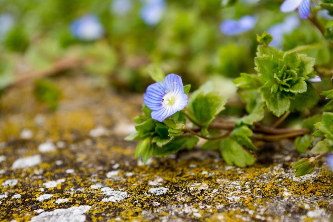 Blossom of a Veronica persica.