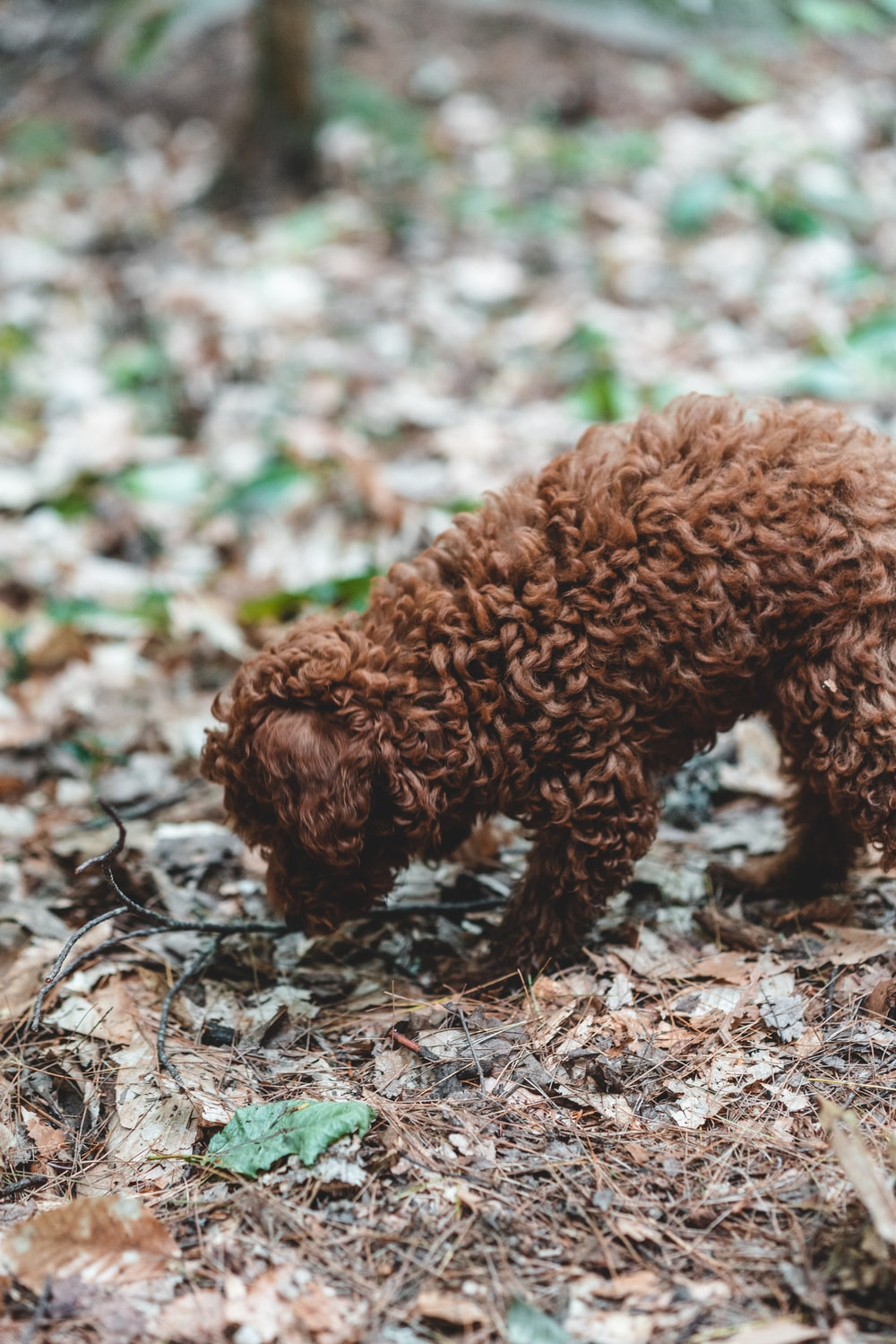 brown long coated small sized dog on brown dried leaves