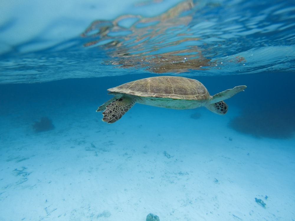 brown and green turtle in water
