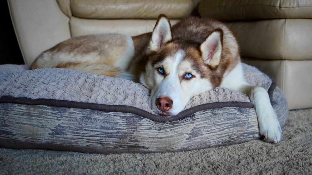 white and brown siberian husky lying on gray wooden floor