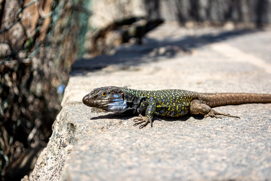 A tenerife lizard trying to determine if that camera is something to eat or not :-)