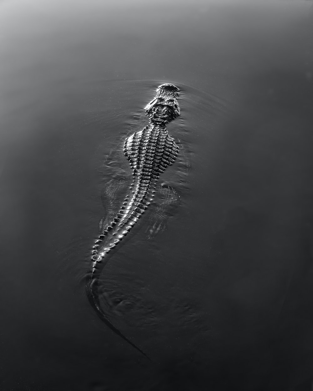 black and white crocodile on water