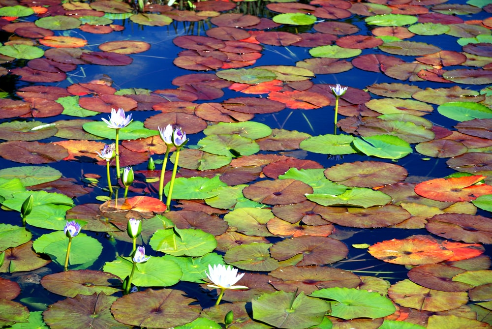 white and purple lotus flower on water