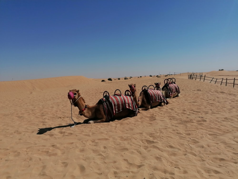 camels on desert during daytime