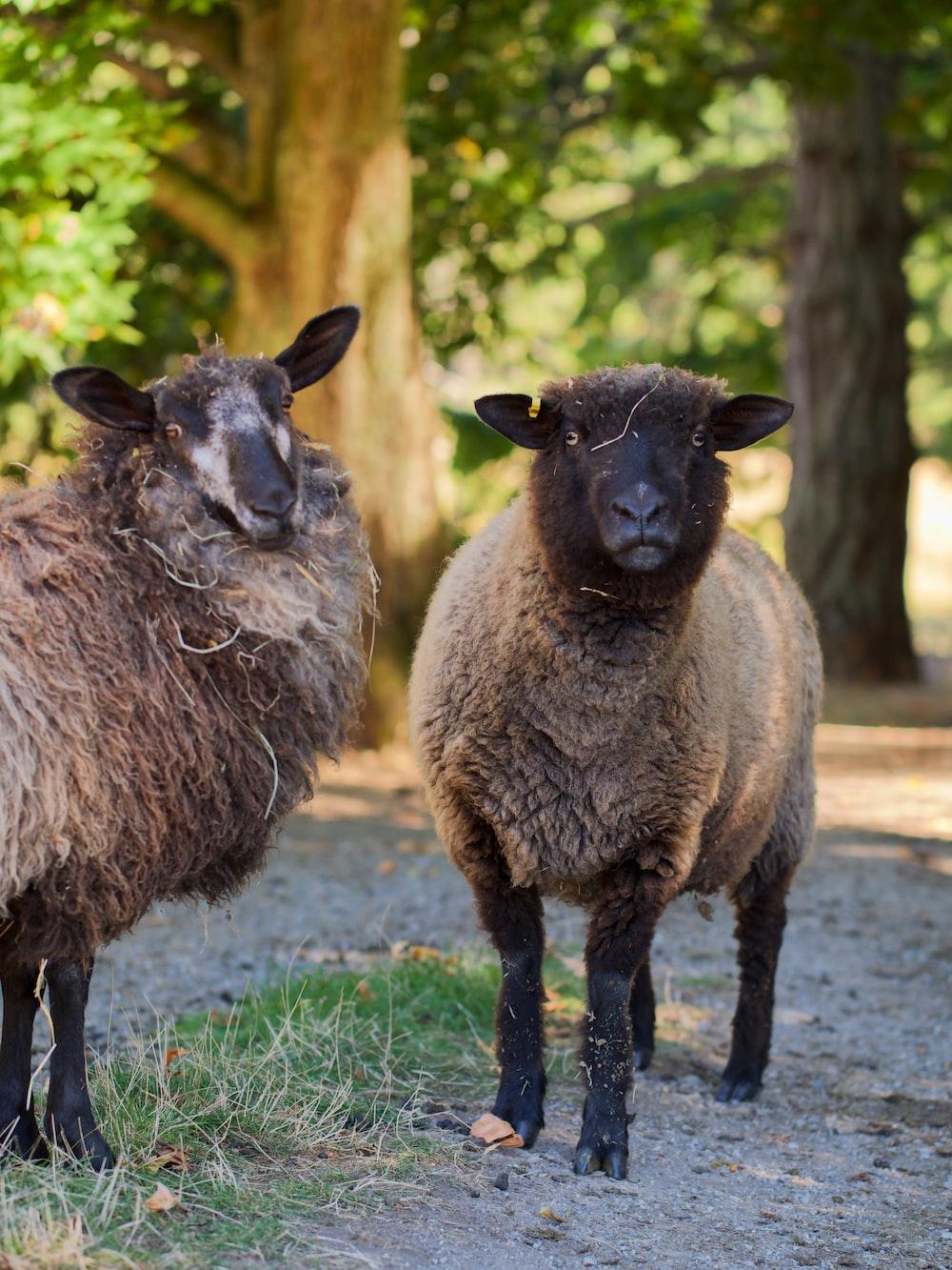 black sheep on green grass during daytime