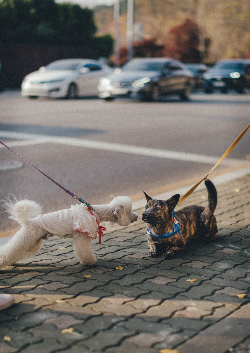 brown and black short coated small dog with leash on road during daytime