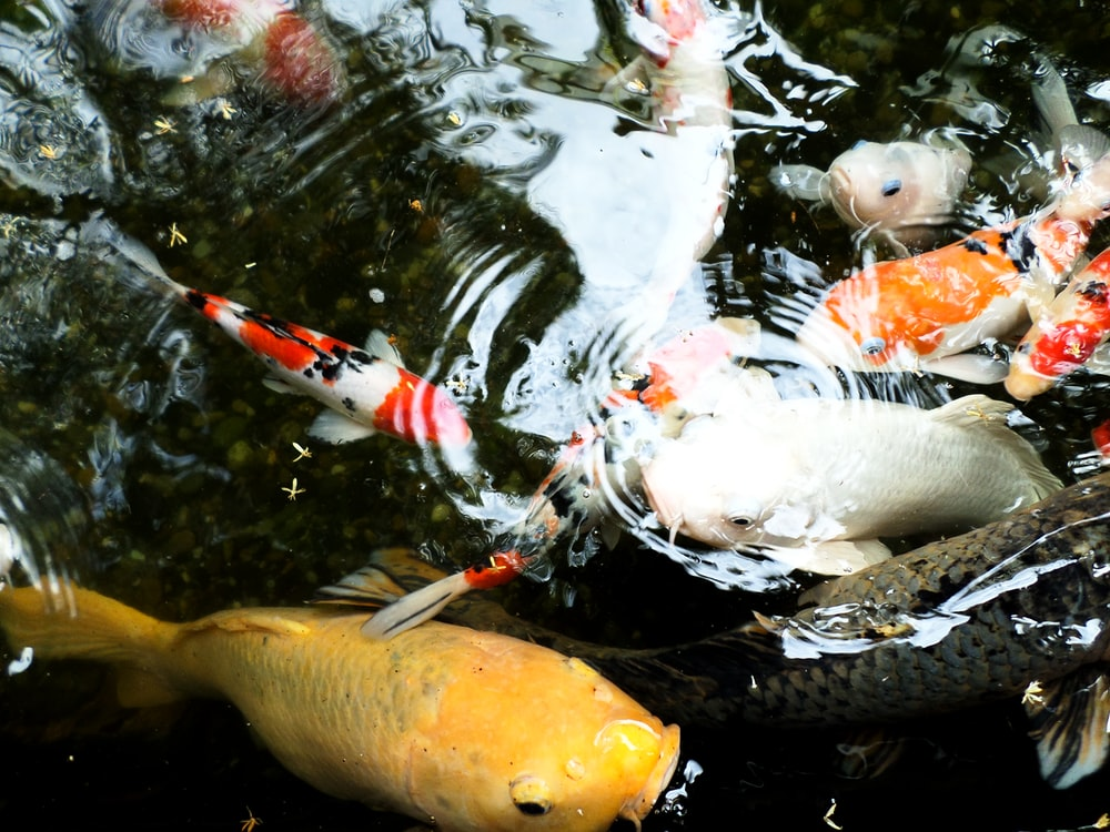 white and yellow koi fish